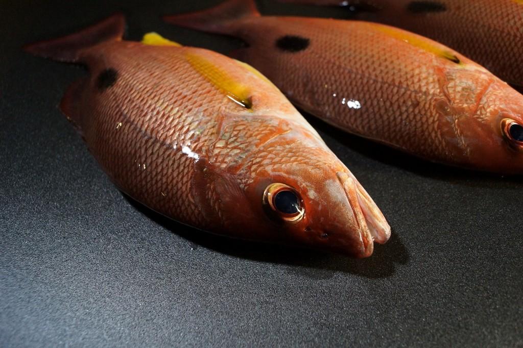 クロホシフエダイ/黒星笛鯛2