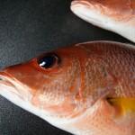 クロホシフエダイ/黒星笛鯛8