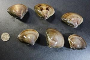 チョウセンハマグリ/汀線蛤1
