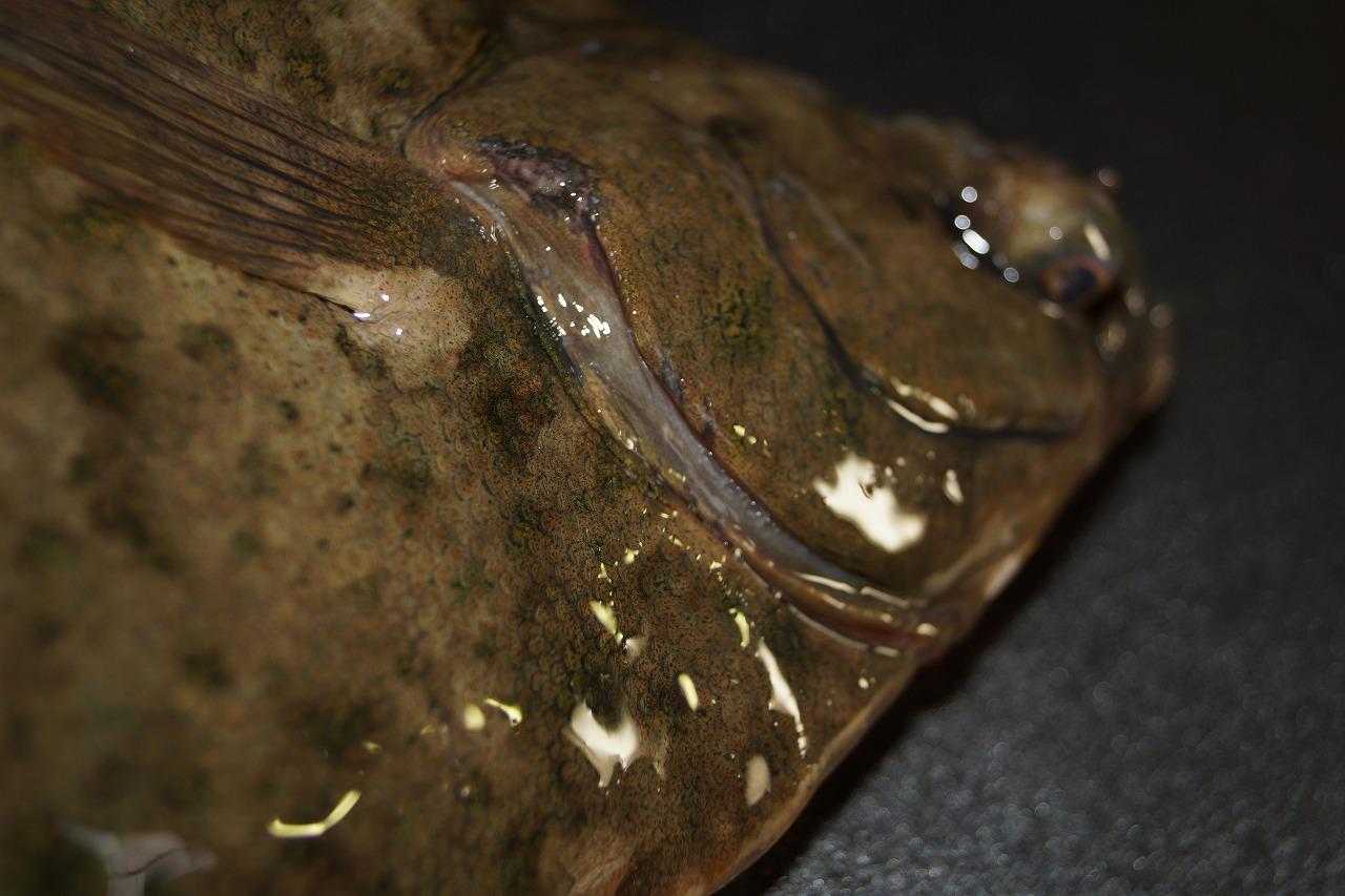 マコガレイ